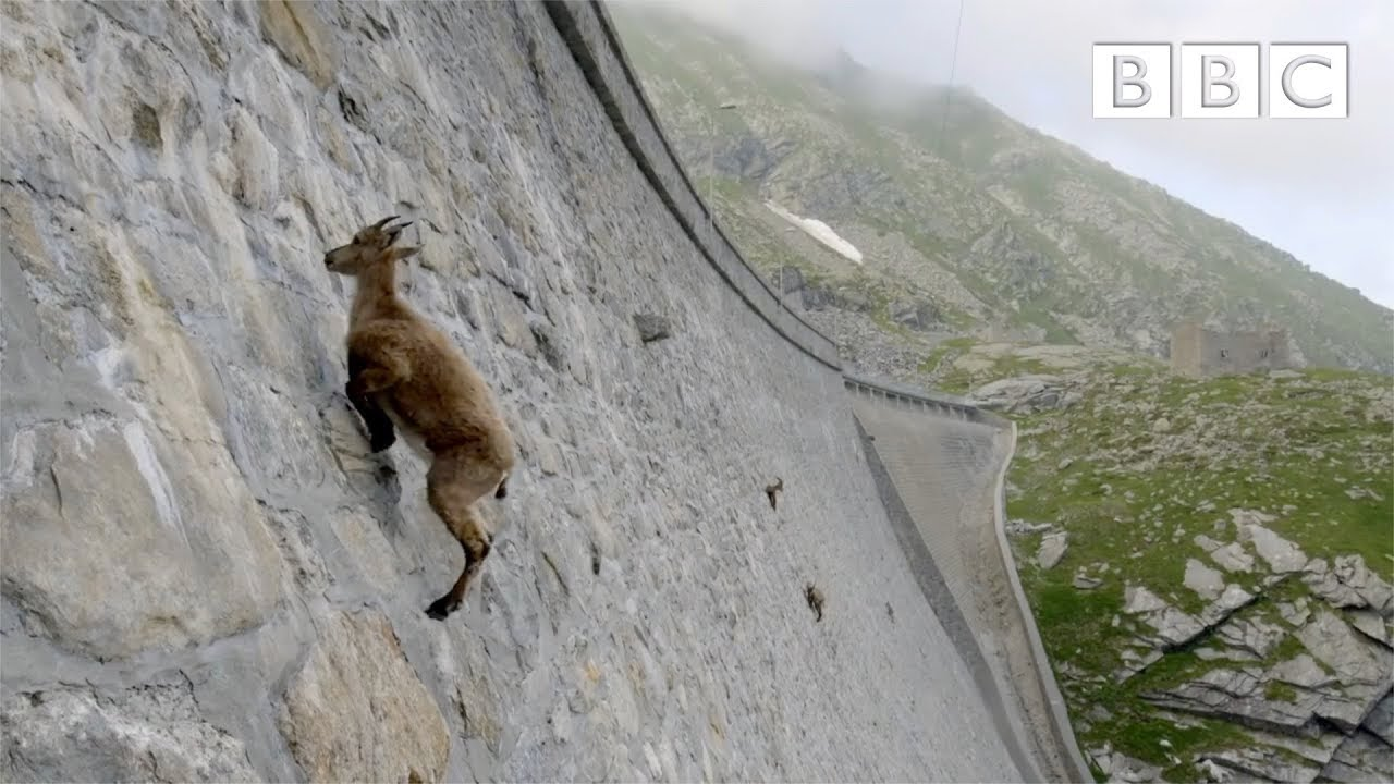 The incredible ibex defies gravity and climbs a dam | Forces of Nature with Brian Cox - BBC